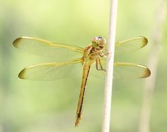 Dragonfly Garden Snakes, Dragonfly Photos, Mosquito Larvae, Gossamer Wings, Beneficial Insects, Bull Riding, Wake Up Call, Damselflies, Dragonflies