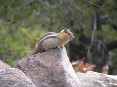 Just your basic chipmunk, Crater Lake, OR