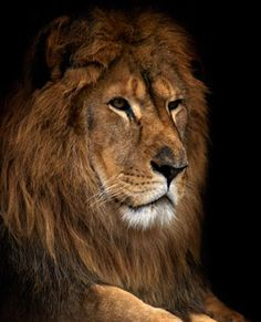 Beautiful Cecil the Lion in Zimbabwe killed by  American hunter tourist