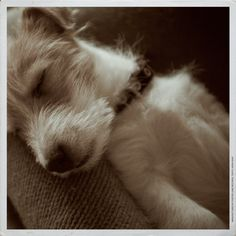 Cute Little Jack Russell Terrier Dog taking a Nap
