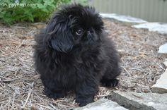 too fricking cute! Yorkies, Pekingese Puppies, I Love Dogs, Puppy Love, Cute Dogs, Fu Dog, Dog Cat, Lion Dog, Super Cute Animals