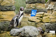 """ Cortez the penguin waves his flag for all the 12s out there. Photo: Ryan Hawk/Woodland Park Zoo.""  in Seattle, WA via Woodland Park Zoo on Facebook"