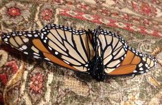 """Monarch Butterfly Undercarriage"" photo by Allison Britten"