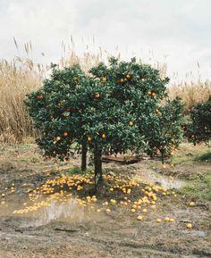 I would love a little lemon tree in my back yard. photo by nicole franzen