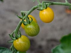 If you are lucky enough to be able to grow your own tomatoes, the question is when are tomatoes ready to harvest? Red ones are the obvious answer, but this article has other things you should look for when picking tomatoes. When To Pick Tomatoes, Free Pictures, Free Images, Yellow Tomatoes, Harvest Time, Minion, Gardening Tips, Cocktails, Nutrition