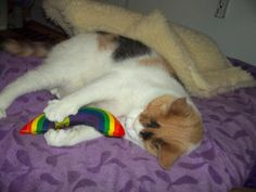 Blind Cat Rescue is a life time care sanctuary for blind, FIV & leukemia positive cats - Lily