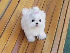 Image result for teacup maltese puppy in Arizona