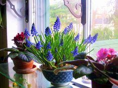 49 trendy home cozy decor plants Narcisse, Blue Plants, Garden Windows, Sunroom Windows, Garden Bulbs, Outdoor Flowers, Spring Bulbs, Glass Shelves, Window Shelves