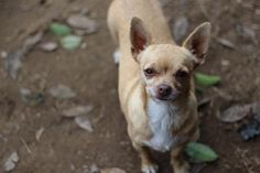 Meet Melody, a Petfinder adoptable Chihuahua Dog | Fresno, CA | You can fill out an adoption application online on our official website.Please contact Brenda...