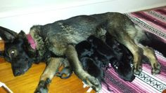 Heidi & her 3 day old pups
