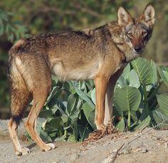Arabian wolf - Wikipedia