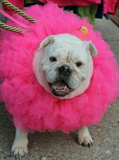 My English Bulldog in her loofah costume for Halloween 2014