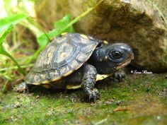 This is an example of a box turtle. David lives in California with his wife, son, and box turtle named Chuck.