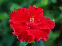 Iris Ibisco