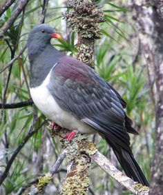 The Chatham pigeon, Chatham Island pigeon, or parea (from Moriori) (Hemiphaga chathamensis) is a bird endemic to the Chatham Islands in New Zealand. Growing to 800g in weight and 55 cm in length, the Chatham pigeon is a relative of the kererū or New Zealand pigeon (Hemiphaga novaeseelandiae).They were common in the 1870s but habitat destruction and predation by mammalian invasive species reduced the population to only 40 birds by 1990.
