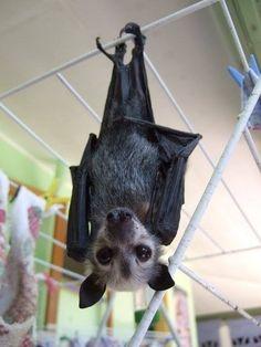 cutest fruit bat ever! Murcielago Animal, Bat Animal, Bat Flying, Baby Bats, Fruit Bat, Cute Bat, Creatures Of The Night, Tier Fotos, Bat Wings