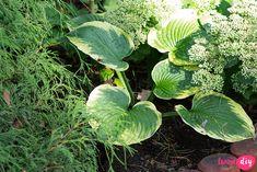 19 roślin, które będą rosły w zacienionych miejscach! - Twoje DIY Colorful Garden, Shade Garden, Bonsai, Diy And Crafts, Pergola, Home And Garden, Landscape, Inspiration, Flowers