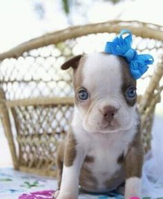 I usually love the classic black and white Boston's but this one is so cute