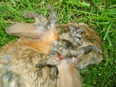 Marcel Huijser Photography | Road ecology blog: White ... |Jackrabbit Got Killed