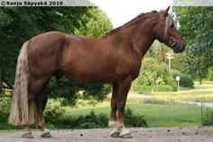 Finnhorse stallion Finnhorse or Finnish Horse has both riding horse and draught horse influences. It is the only breed fully developed in Finland All The Pretty Horses, Beautiful Horses, Animals Beautiful, Adorable Animals, All Horse Breeds, Horse World, Clydesdale, Draft Horses, Show Jumping