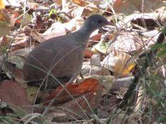 14-Crypturellus parvirostris (Small-billed Tinamou bird walking on ground)