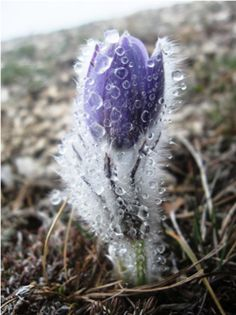 Imbolc: Imbolc: Early Spring flower covered with ice. - Imbolc: Imbolc: Early Spring flower covered with ice. Love Flowers, Beautiful Flowers, Tulips Flowers, Plantes Alpines, Early Spring Flowers, Snow And Ice, Winter Beauty, All Things Purple, Jolie Photo