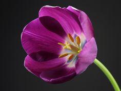 Purple Tulip - Flickr - Photo Sharing!