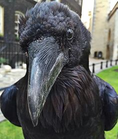Raven - Tower of London by Ravenmaster Crow Art, Raven Art, Animals And Pets, Cute Animals, Angry Animals, Quoth The Raven, Dark Wings, Jackdaw, Crows Ravens