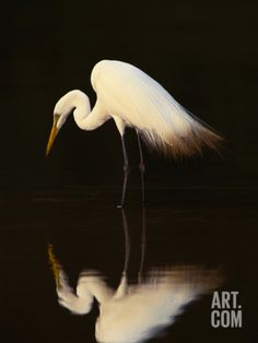 Great Egret in Lagoon, Pantanal, Brazil Photographic Print