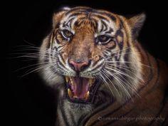Tiggo is grinning by Irawan Subingar on 500px