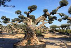 Olivo Sevillenca Monumental Ginart Oleas Topiary, Bonsai, Landscape Design, Ideas Para, Landscaping, Gardens, Garden, Garden Layouts, Vivarium