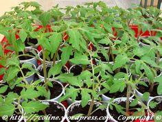rasaduri de rosii 5 Plants, Plant, Planets