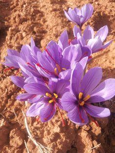 Rosa del Azafrán (Crocus sativus) Durante los meses de Octubre y Noviembre florece esta cotizada flor. Durante unos días podemos ver en los campos de La Mancha esta efímera flor.