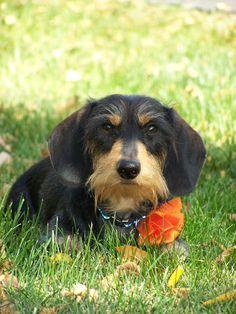 Rudi, my handsome Wirehair Dachshund!