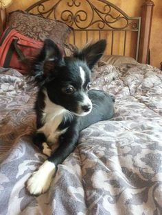 Hi, my name is Tiny Tillie! I'm a long coat Chihuahua survivor who was born in a puppy mill. I am now an advocate for the fight against puppy mills. Black Chihuahua, Chihuahua Names, Cute Chihuahua, Teacup Chihuahua, Chihuahua Puppies, Dogs And Puppies, Puppy Mill Rescue, Rescue Dogs, Helping Dogs