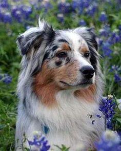 Beautiful Australian Shepherd