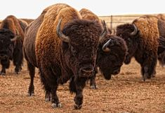 Durham Buffalo Ranch houses two thousand of the once endangered American Bison on 55,000 acres of ranch land. Photo by Brian McCord