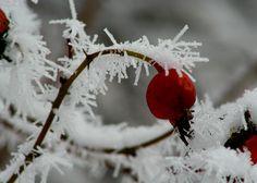 Frosty Berry