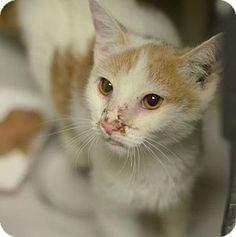 Philadelphia, PA - Domestic Shorthair. Meet Micky (foster care), a cat for adoption. http://www.adoptapet.com/pet/15482037-philadelphia-pennsylvania-cat