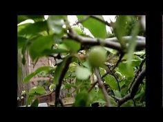 Bonsai Apple tree With bonsai apples - probably with the smallest apples on earth Bonsai Apple Tree, Apples, Dandelion, Trees, Earth, Videos, Flowers, Plants, Dandelions