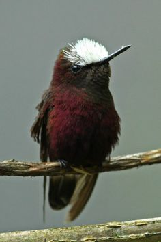 The Snowcap (Microchera albocoronata) is a small hummingbird which is a resident breeder in Honduras, Nicaragua, Costa Rica and western Panama.