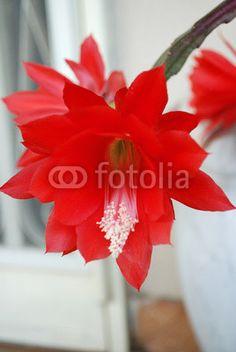 Epiphyllum Photo, purchasable in Fotolia