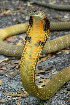 ˚King Cobra