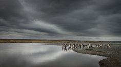 https://flic.kr/p/dNEiyq | Pinguinos rey en Onaisin | Pequeña colonia de pinguinos Rey, en sector Onaisin,Bahia Inutil, Tierra del Fuego.
