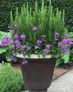Container garden w/ Rosemary, Lobelia
