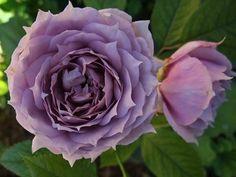 david austin roses - Buscar con Google