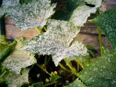 Dream Garden, Home And Garden, Tomato Seedlings, Rose Care, Powdery Mildew, Garden Pests, Natural Life, Fruit Trees, Plant Leaves