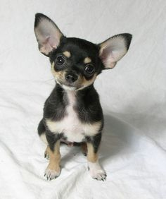 So adorable with his Yoda ears! lol Chihuahua