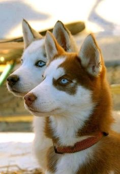 Lovely Siberian Huskies...such sweet faces!