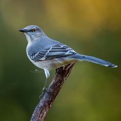 Hmmm...I wonder who I can pick on now says the backyard bully. I actually really like Northern Mockingbirds. They also happen to be our state bird.